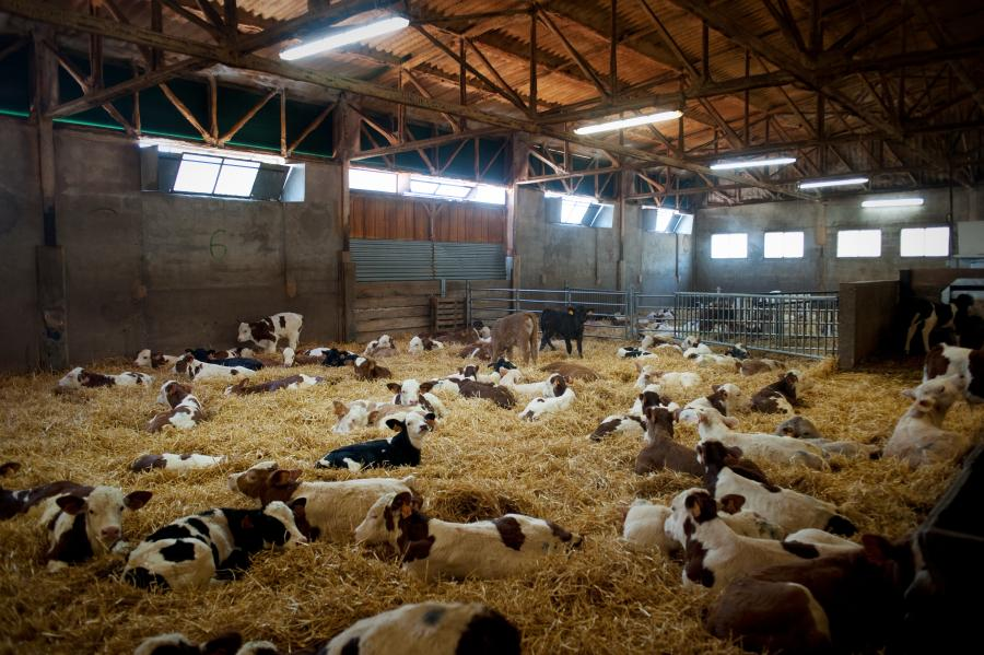 Veau Plaisirs élevage en liberté sur paille